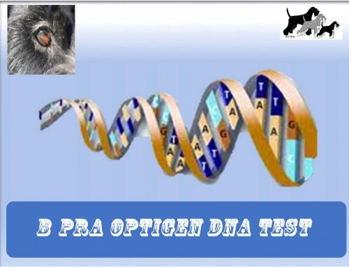 B PRA Dwergschnauzer DNA test